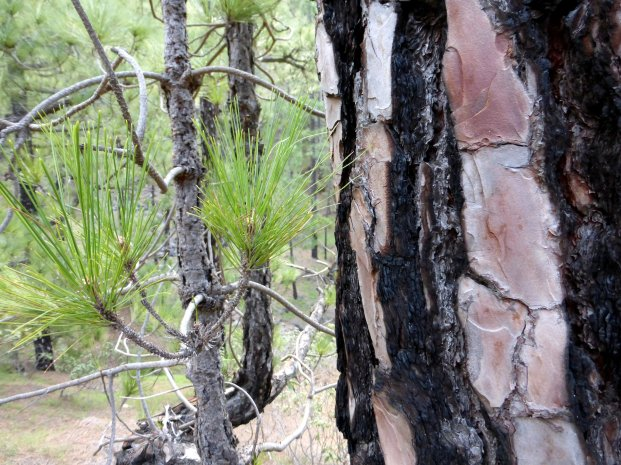 Wonderful bark on a pine